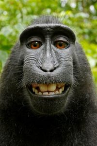 Monkey Selfie David Slater